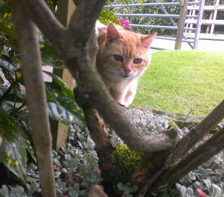 Ginger in neighbours garden